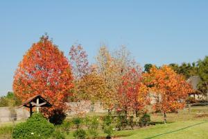 autumn colours liquid amber